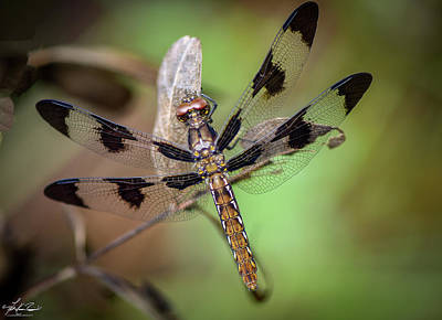 Photograph - Common Whitetail Dragonfly by Philip Rispin