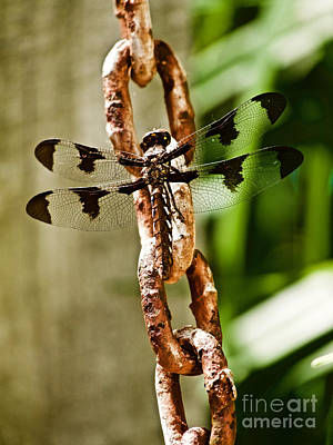 Metal Dragonfly Photograph - Common Whitetail Dragonfly by Rachel Morrison