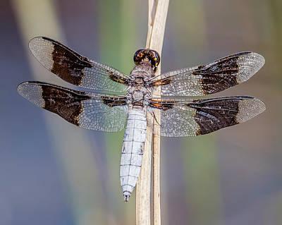 Missouri Whitetail Photograph - Common Whitetail by Morris Finkelstein