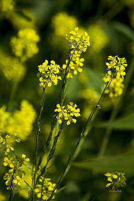 Photograph - Common Wintercress Flowers by Christina Rollo