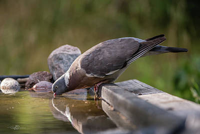 Photograph - Common Wood Pigeon Drinking At The Waterhole by Torbjorn Swenelius