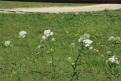 Art Print featuring the photograph Common Yarrow by Robyn Stacey