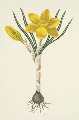 Crocus Painting - Common Yellow Crocus by Margaret Roscoe