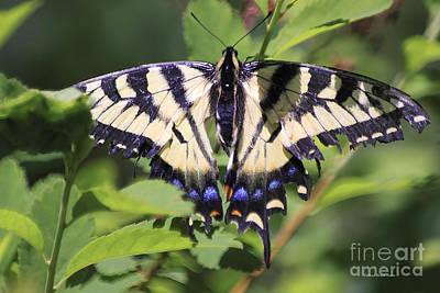 Blue Swallowtail Photograph - Common Yellow Swallowtail by Deborah Benoit
