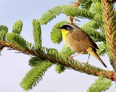 Photograph - Common Yellow-throat by Debbie Stahre