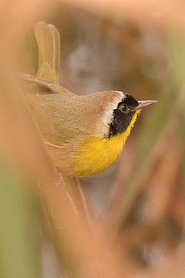 Photograph - Common Yellow-throat In Hiding by Alan Lenk