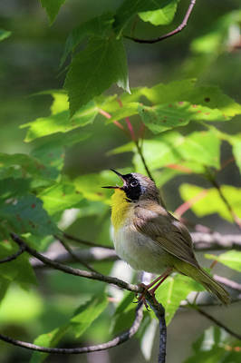 Common Yellowthroat Photograph - Common Yellowthoat Singing by Bill Wakeley