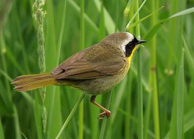 Photograph - Common Yellowthroat 2 by I'ina Van Lawick