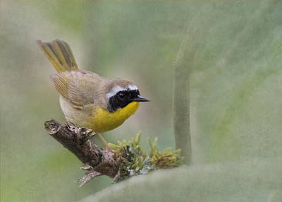 Photograph - Common Yellowthroat by Angie Vogel