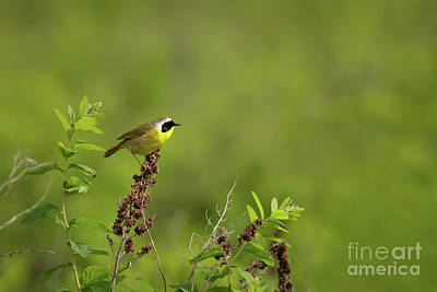 Photograph - Common Yellowthroat by Beve Brown-Clark Photography