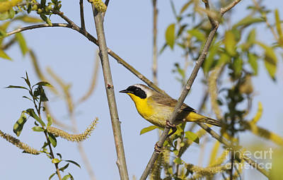Keith Richards - Common Yellowthroat by Dennis Hammer
