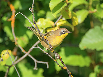 Photograph - Common Yellowthroat by Loree Johnson
