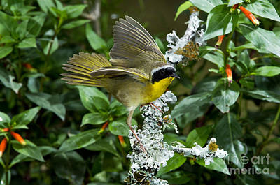 Common Yellowthroat Photograph - Common Yellowthroat Male by Anthony Mercieca