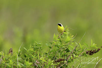 Photograph - Common Yellowthroat - Male by Beve Brown-Clark Photography
