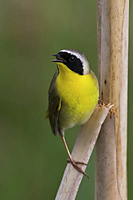 Photograph - Common Yellowthroat Male by Craig Strand