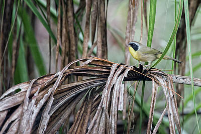 Bird Photograph - Common Yellowthroat by Rick Higgins