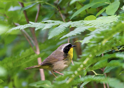 Photograph - Common Yellowthroat Warbler 3 by Bill Wakeley