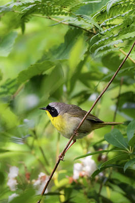 Photograph - Common Yellowthroat Warbler 4 by Bill Wakeley