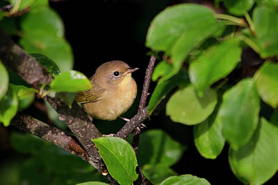 Photograph - Common Yellowthroat Warbler by Christina Rollo