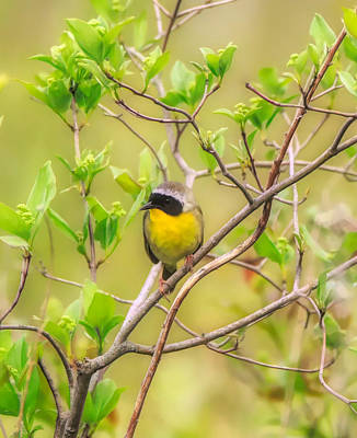 Mixed Media - Common Yellowthroat Warbler by Dan Sproul