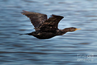 Photograph - Comorant In Flight by David Cutts