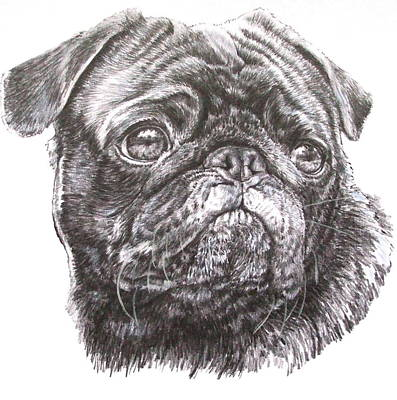 Drawing - Companion Pug by Barbara Keith