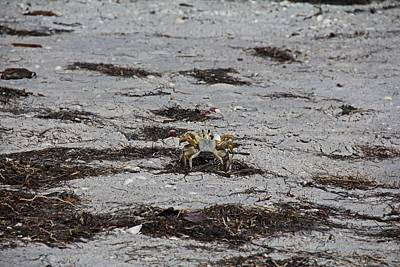 Photograph - Competing Crabs by Michiale Schneider