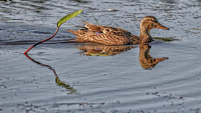 Photograph - Composition Duck.... by Paul Vitko