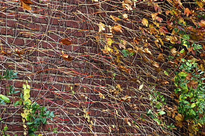 Photograph - Composition In Ivy Stems by Lynda Lehmann