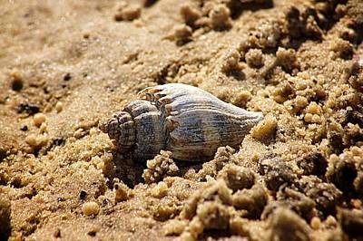 Photograph - Conch And Sand by Paul Wilford