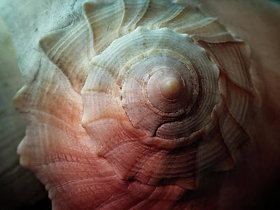 Nature Photograph - Conch by Chrystal Mimbs