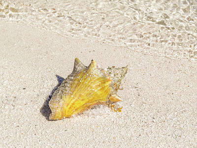 Photograph - Conch by Pamela Williams