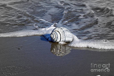 Photograph - Conch Shell Reflection by Denise Pohl