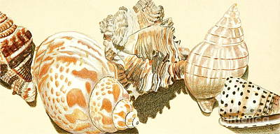 Still Life Drawings - Conch Shells by Glenda Zuckerman