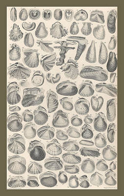 Sea Shell Drawing - Conchology by Dreyer Wildlife Print Collections