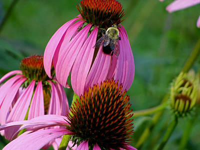 Cone Flower  Bumble Bee Macro Art Print by Martin Morehead
