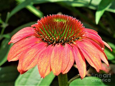 Photograph - Cone Flower by Chad and Stacey Hall