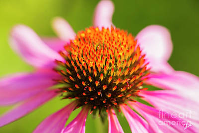 Photograph - Cone Flower Close Up by Alana Ranney