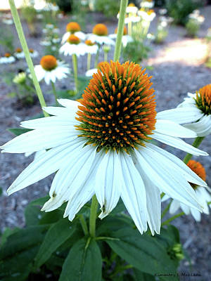 Photograph - Cone Flower In Bloom by Kimmary I MacLean