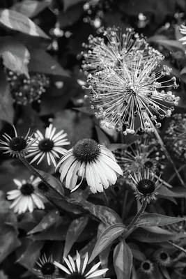 Photograph - Cone Flower In Dow Gardens 3 Bw by Mary Bedy