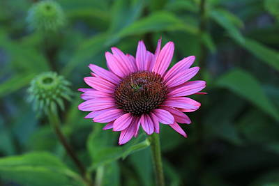 Photograph - Cone Flower In Pink by Lynn Hopwood