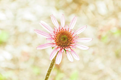 Photograph - Cone Flower by Jay Stockhaus