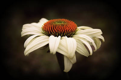 Cone Flower Art Print by Jessica Jenney