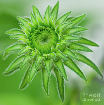 Photograph - Cone Flower Macro by Dale Powell