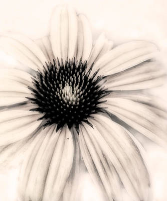 Photograph - Cone Flower - Photography by Ann Powell