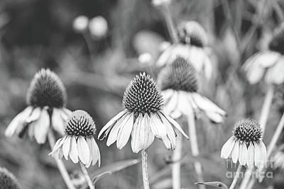 Photograph - Cone Flower - Bw by Scott Pellegrin