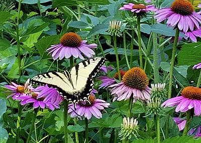 Photograph - Cone Flowers And Butterfly by Sylvia Thornton