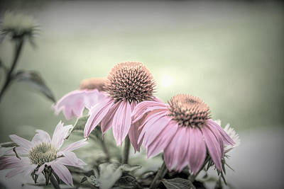Photograph - Cone Flowers Dream by Mary Timman