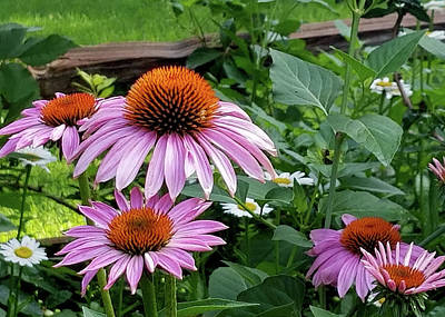 Photograph - Cone Flowers II by Sylvia Thornton