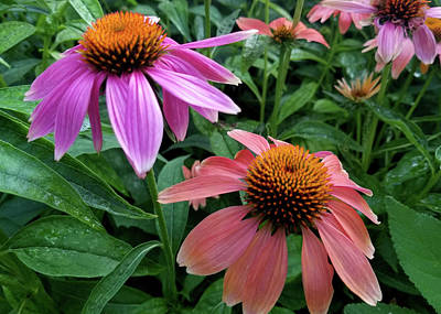 Photograph - Cone Flowers IIi by Sylvia Thornton
